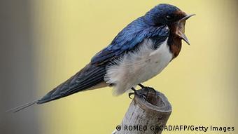 Στην κόκκινη λίστα των πτηνών αναπαραγωγής βρίσκονται τα σταβλοχελίδονα (φωτ.) και τα λευκοχελίδονα ως «απειλούμενα είδη»