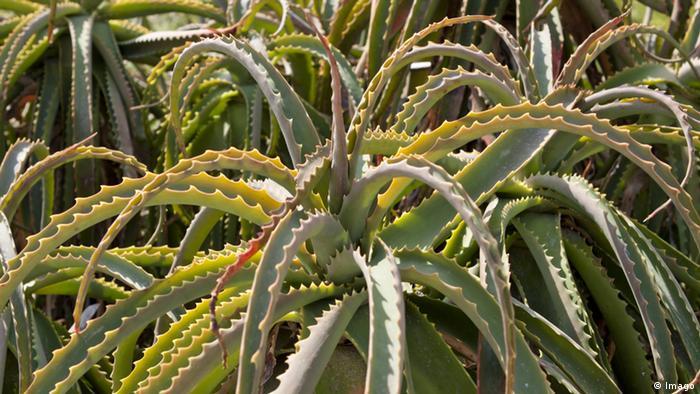 Aloe Vera Pflanze (Imago)
