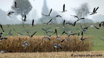 Aves migratórias podem ficar sem seus locais de reabastecimento