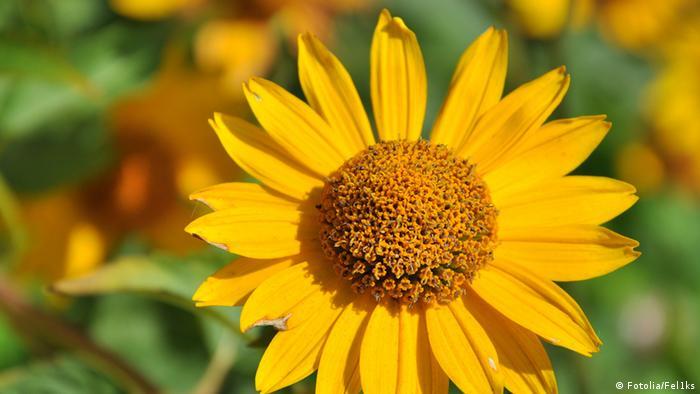 Arnika flower