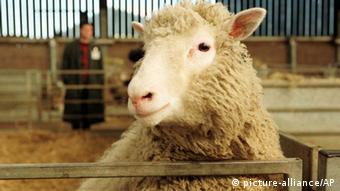 FILE This Tuesday, Feb. 25, 1997 file photo shows seven-month-old Dolly, the genetically cloned sheep, looking towards the camera at the Roslin Institute in Edinburgh, Scotland. Keith Campbell, a prominent biologist who worked on cloning Dolly the sheep, has died at 58, the University of Nottingham said Thursday Oct. 11, 2012. Campbell, who had worked on animal improvement and cloning since 1999, died last Friday Oct. 5, 2012, university spokesman Tim Utton said. He did not specify the cause of death, only saying that Campbell had worked at the university until his death. (AP Photo/Paul Clements, File) UK OUT