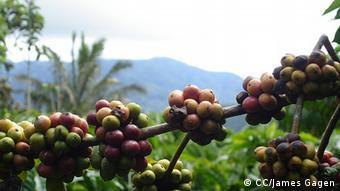 Kaffeeplantage Indonesien