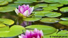 #43504476 - Lotusblüte - Seerose im Teich © Aamon