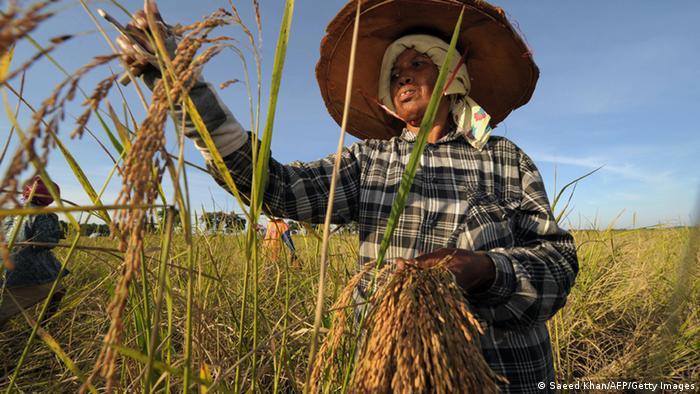 Reisernte in Thailand (Foto: Getty Images)