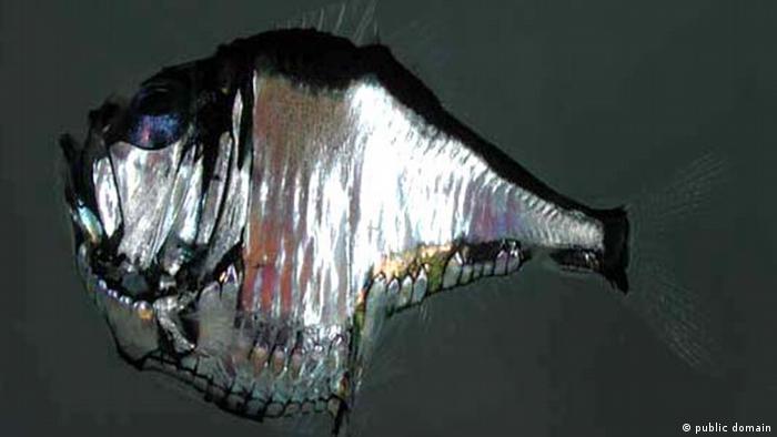 ikan cahaya di Dasar Laut Dalam