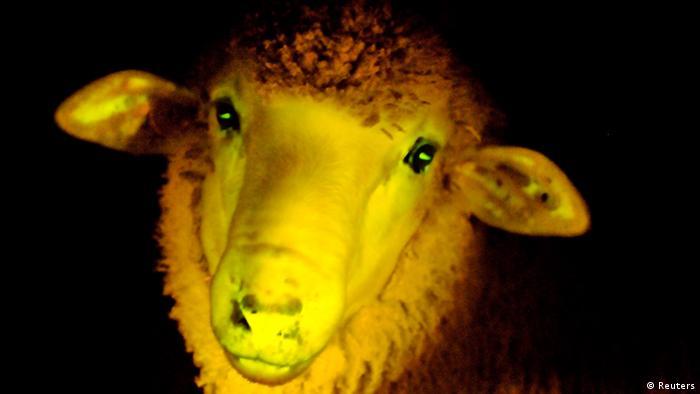 Domba bercahaya kuning rekayasa genetika