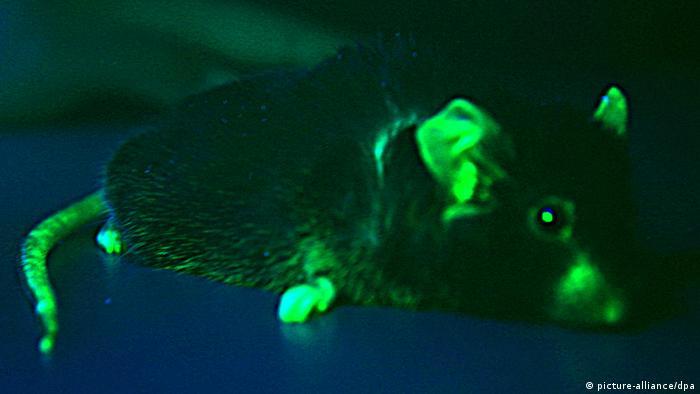 Leuchtende Zellen einer Maus (Foto: dpa)