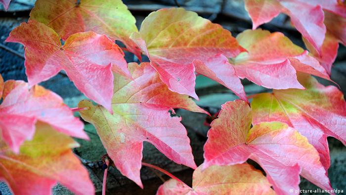 Herbstlich verfärbtes Laub (Foto: Holger Hollemann dpa/lni).