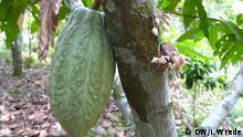 Kakaofrucht auf einer Plantage in Nicaragua Foto: DW/ Insa Wrede