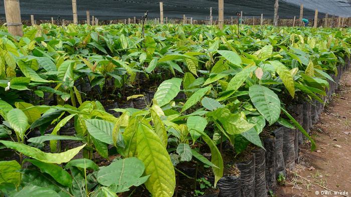 Kakaofrüchte auf einer Plantage in Nicaragua (Foto: DW/Insa Wrede)