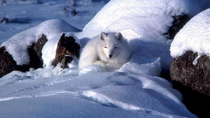 An Arctic fox sitting in the snow