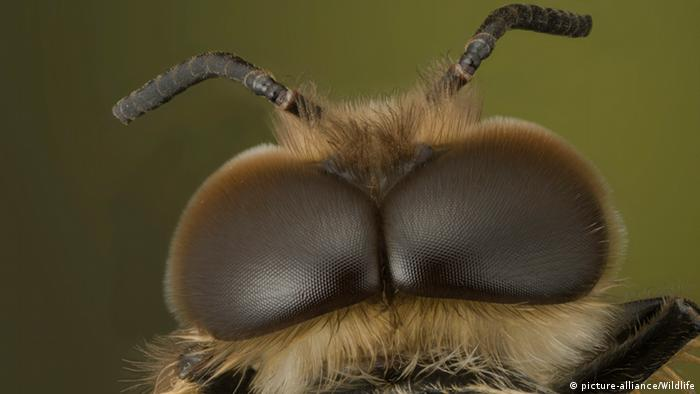 Europäische Honigbiene, Westliche Honigbiene (Apis mellifera, Apis mellifica), Nahaufnahme des Kopfes einer Drohne von oben (Foto: picture alliance/wildlife)