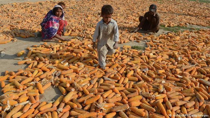 Mais Ernte in Pakistan