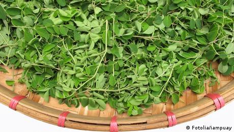 Moringa Blätter