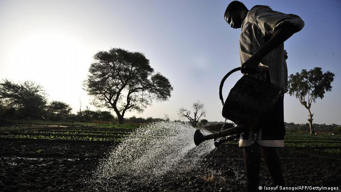 Crops being watered in Africa.