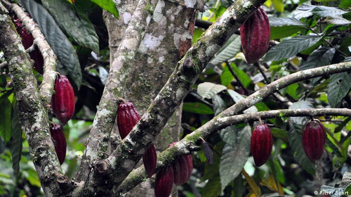 Nicaragua Kakao Plantage von Ritter Sport