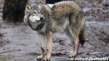 Ein grauer Wolf steht am Dienstag (01.12.2009) im Wolfsgehege im Tierpark in Berlin. Der Naturschutzbundes Deutschland (NABU) hat mit der Unterstützung der Volkswagen AG ein bundesweites Wolfsprojekt Rotkäppchen irrt für Kinder gestartet, das erstmals im Tierpark Berlin vorgestellt wurde. Das Projekt soll mit vielen Spielideen, Bilderbüchern und CD ein bessers Bild über das Leben der Wölfe in Deutschland erschaffen um die Tiere besser zu schützen. Foto: Alina Novopashina dpa/lbn +++(c) dpa - Bildfunk+++