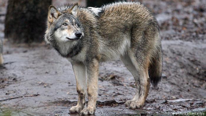 Deutschland Tierpark ein grauer Wolf