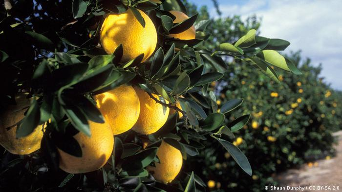 An orange orchard in Florida (Shaun Dunphy / CC BY-SA 2.0)