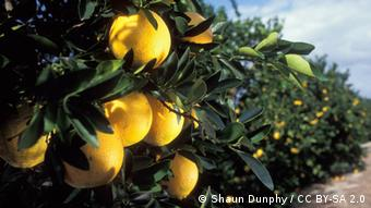 An image of an orange tree (Foto: U.S. Department of Agriculture / CC BY 2.0)