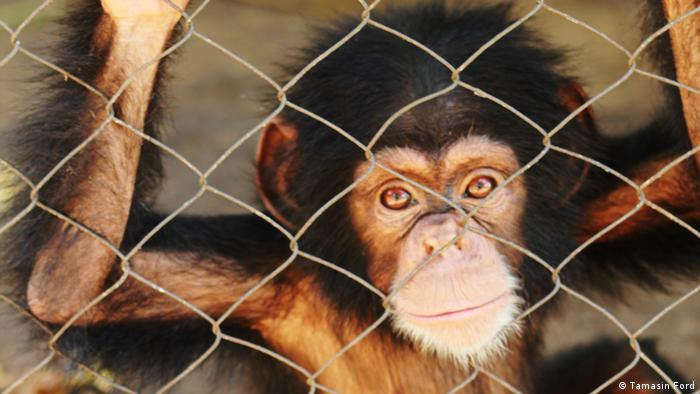 Baby chimpanzee at Abidjan Zoo in Ivory Coast (Photo: Tamasin Ford)