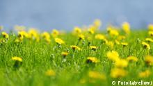 Autor yellowjPortfolio ansehen Bildnummer 53166656 Land Russische Föderation #53166656 - Yellow dandelions© yellowj