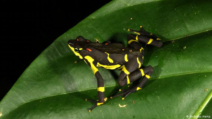 A toad, Atelopus varius (Photo: Andreas Hertz)