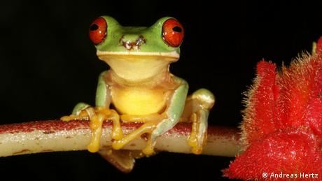 A red-eyed stream frog (Photo: Andreas Hertz)