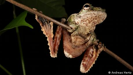 A gliding frog in Panama (Photo: Andreas Hertz)
