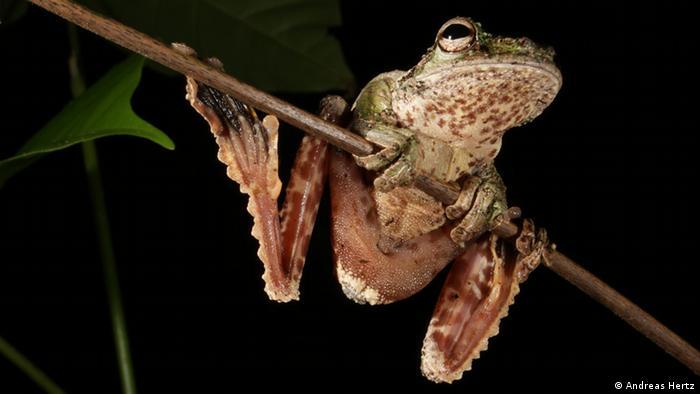 Amphibien, Frosch Ecnomiohyla sp