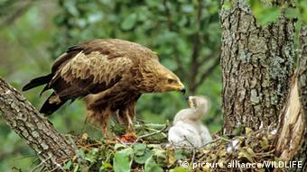 This photo shows a bird of prey feeding its offspring