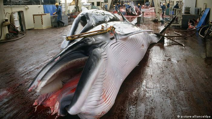 A hapooned whale on board a Japanese ship. (Photo: dpa)