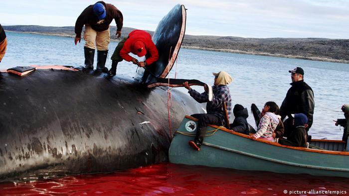 Slicing Maktuk from a Bowhead Whale in Nunavik, Kangiqsujuaq, (Photo: The Canadian press)