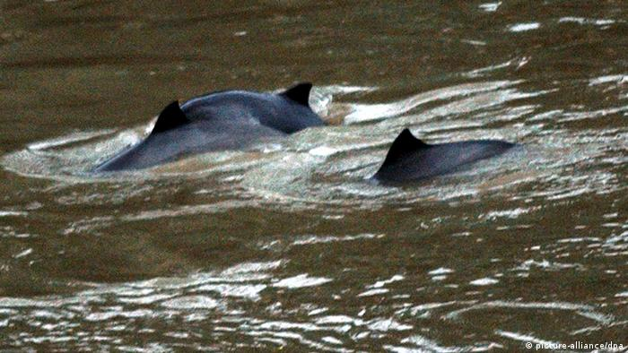 Two swimming porpoises in a river