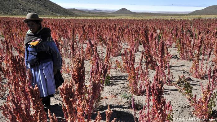 Quinoafeld in Bolivien