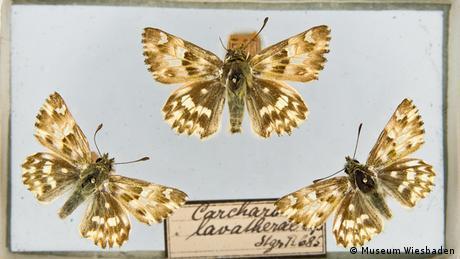 Morphofalter aus der Sammlung von Maria Sybilla Merian, später Sammlung Johann Christian von Gerning © Museum Wiesbade
