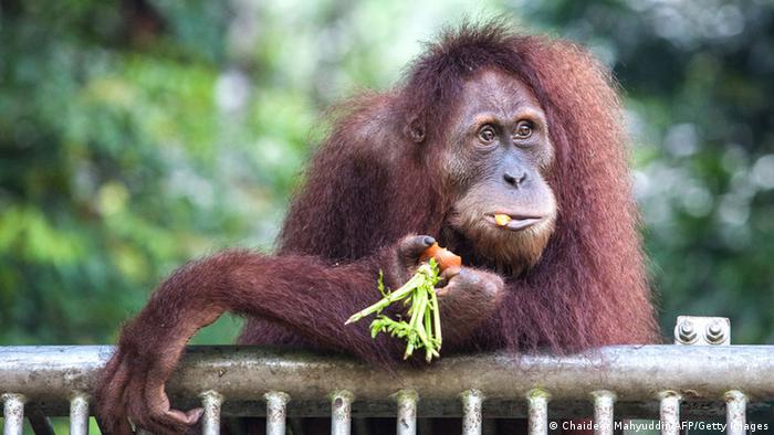 Орангутанг в зоопарке