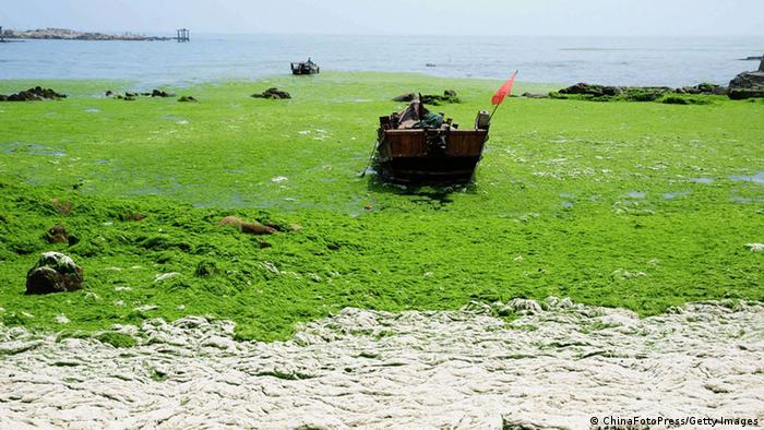 Uma praia coberta por uma camada de algas verdes em junho de 2013, em Qingdao, na China