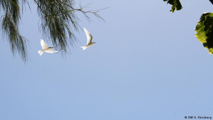 White Terns flying over Cousin Island (Photo: DW/ A. Rönsberg)