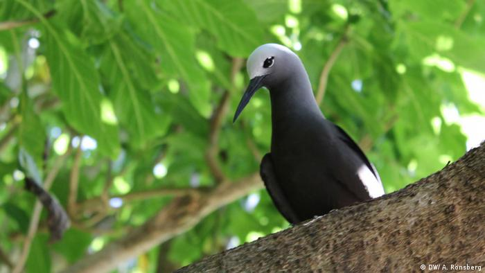 A Lesser Noddy looking down on visitors on Cousin Island (photo: DW / A. Rönsberg)
