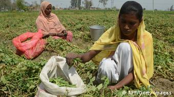 Indian labourerss sort peas after harvesting on the outskirts of Amritsar on March 20, 2013. (Photo: AFP)