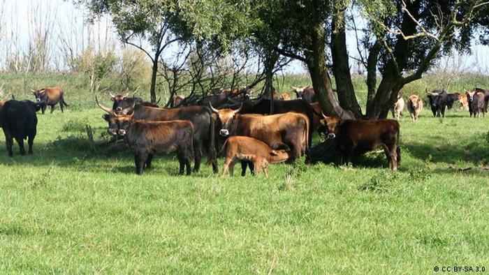 Heck cattle (Photo: Wikipedia/GerardM)
