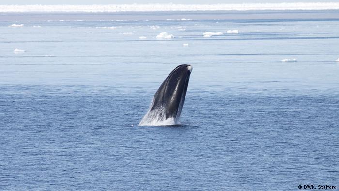 A bowhead whale surfaces off the coast of Alaska. Courtesy Kate Stafford April 2010, Barrow, Alaska