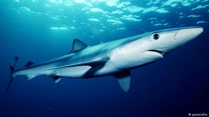 Blauhai (gemeinfrei)