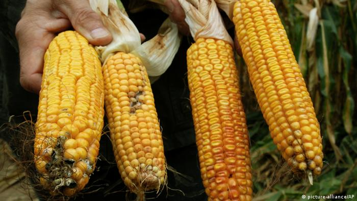 Monsanto's genetically modified corn (Photo: AP Photo/Sven Kaestner)