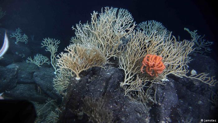 Korallenriff des Südatlantiks