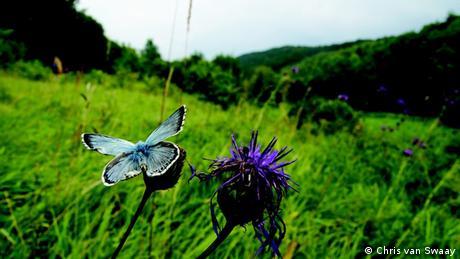 Schmetterling Chalkhill Blue Polyommatus coridon Eifel Deutschland Insekt