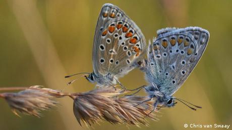 Schmetterling Common Blue Eifel Deutschland Insekt