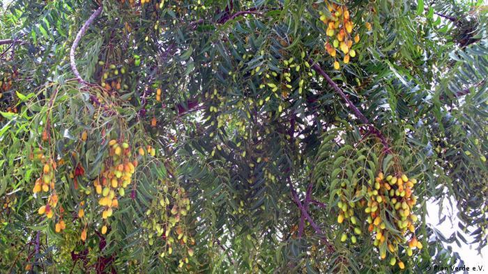Yellow-orange ripe seeds from a neem tree (Foto: Plan Verde e. V.)