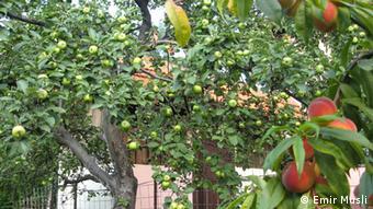 Jabuke i breskve